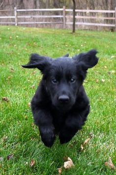 Here's flat-coat retriever puppy Jett, flying like a... well, you know.