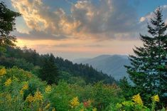 North Carolina pine trees