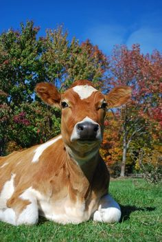 a beautiful lovable sweet cow -from Farm Sanctuary