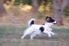 Flor Spangled Paz Vega Papillon Spanglish Puppies for sale ...
