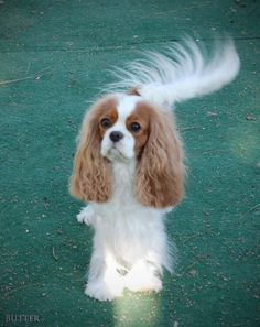 Cavalier King Charles Spaniel with a beautiful fan tail