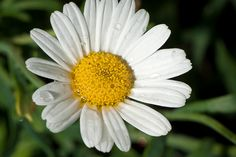 Chamomile: Makes a great tea that will calm and relax you on busy days.