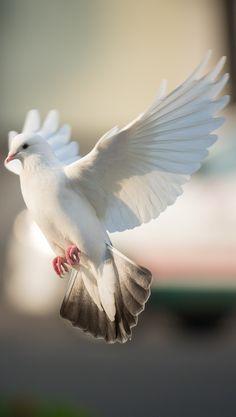 Eine Taube im Flug - My Saves - Pretty Birds, Beautiful Birds, Animals Beautiful, White Pigeon, Dove Pigeon, Dove Pictures, Bird Pictures, Pictures Of Doves, Colombe Tattoo