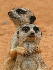 Flickr: Discussing meerkat(s) of the month CLOSED in Meerkats