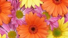Preview wallpaper gerbera, flowers, petals, colorful, buds, close-up 1920x1080 Chrysanthemum, Gerbera, Bud, Hd Wallpaper, Close Up, Plants, Pictures, Image, Colorful