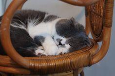 Little ball of fur 🐱💕 #cat #scottishfold #kitten #cats #scottish #animals