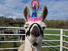 Party Llama Alpaca Fascinator - Mini Party Hat for Llamas and Alpacas - Camelids Tack Pink All Black Hat, Witch Legs, Yellow Feathers, Horse Costumes, Plastic Grocery Bags, Llama Alpaca, Star Party, Princess Party, Party Hats