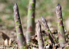Planting Asparagus - how to start asparagus from seed or how to grow it from crowns