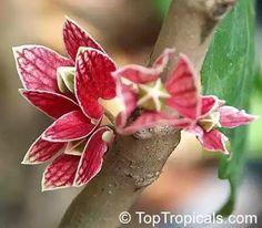 Hoa Vi Kỳ Tây tên này gọi theo tiếng Trung Hoa - Tên khoa học: Goethea strictiflora, họ Malvaceae Cẩm Quỳ, bộ Malvales Cẩm Quỳ, nhánh Rosids Hoa Hồng.