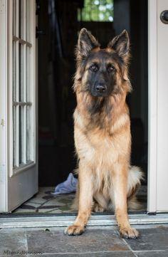 german shepherd | Tumblr #german_shepherd