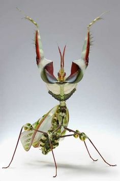 Different Praying Mantis Species | Enter the World of Bugs | Scienceray