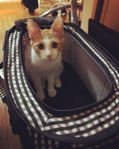 🐱hospital🐱 ぼく どこかへ 行くみたい お外に出られるから ま、いっか😽 ♪ 茶太 頼むからお利口さんにしてね😅 ♪ ♪ ♪ #japan #tokyo #猫 #ねこ #kitty #cat #mykitty #chata #茶太 #ちゃた #♂#茶トラ白#3monthold #rescuecat #protection #保護猫 #愛猫 #meow #cute #lovely #catlovers #myphoto #picneko #みんねこ #cats_of_instagram #catstagram #instacat #instagood #instagram #kaori_3231 #2017_10_5
