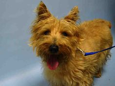 SUPER URGENT JACK REID – A1038677 MALE, TAN, CAIRN TERRIER MIX, 8 yrs OWNER SUR – ONHOLDHERE, HOLD FOR ID Reason MOVE2PRIVA Intake condition EXAM REQ Intake Date 06/03/2015