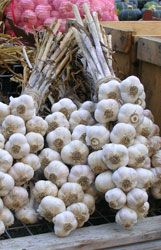 This small farm has the best garlic variety for Northeast gardens. Will plant sampler order in October.