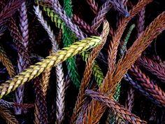 Norfolk Island Pine Needles on Maui HI
