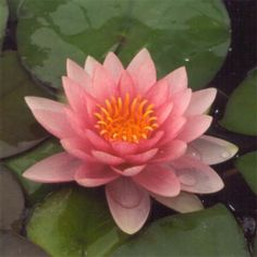 Nenuphar Rose Hollandia Pink Tres Rustique Nymphea Bassin Pond | eBay