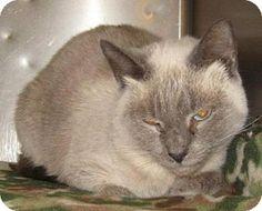Siamese Cat for adoption in Johnson City, Tennessee - gracie (scott hills)
