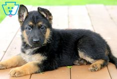 Outstanding Beautiful dogs tips are offered on our web pages. Check it out and you wont be sorry you did. Aussie Puppies, Baby Puppies, Puppies For Sale, Cute Puppies, Dogs And Puppies, Cute Dogs Breeds, Puppy Breeds, Pomeranian Puppy, Husky Puppy