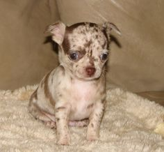 Smiley x Will - Chocolate merle female Chihuahua puppy