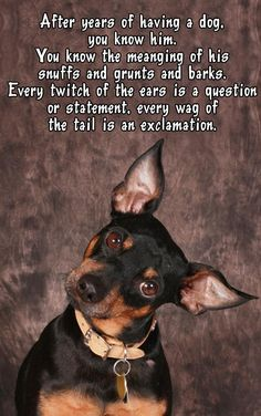 Buster Rio and Houdini, all day long lol Mini Pinscher, Miniature Pinscher, Doberman Pinscher, Chihuahua Dogs, Dogs And Puppies, All Dogs, Chihuahuas, Doggies, Prager Rattler