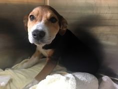 """12/24/16 A shelter in California is searching for the owner of a puppy who was severely injured after being struck by a vehicle. According to the Pasadena Humane Society & SPCA, the four-month-old beagle suffered a """"severe"""" break in her leg after being struck by a hit-and-run car accident in South Pasadena. The shelter recounted what …"""