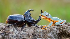 Indonesian wildlife photographer Hendy Mp has captured incredibly fantastic photos of a tree frog riding atop a rhinoceros beetle Animals And Pets, Funny Animals, Cute Animals, Rhino Beetle, Cute Pictures, Cool Photos, Amazing Photos, Foto Macro, Green Tree Frog