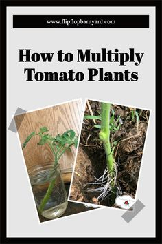 You can multiply your tomato plants for a bigger harvest by rooting them! Gardening Hacks, Organic Gardening Tips, Tomato Garden, Tomato Plants, Tomato Suckers, Raising Farm Animals, Varieties Of Tomatoes, Modern Homesteading, Garden Posts