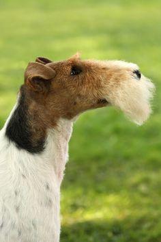A noble profile-foxt