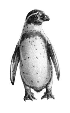 Peruvian Penguin sketch SK095 Art Print by S-Schukina | Society6