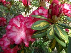 Rhododendron, I MUST have one of these!  So pretty!