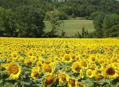 Zonnebloemen, Frankrijk