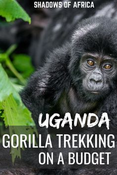 Gorilla Trekking in Rwanda Too Expensive? Try Uganda! - Travel to Africa