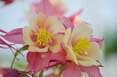 Photo: Two tone Pink Columbine!  Happy #floralfriday everyone!  #flowers #floralphotography #flowerphotography #columbine #pink columbine +HQSP Flowers +BTP Flower Pro #naturephotography