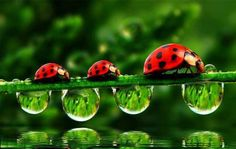 ladybugs and droplets, marching in row !IEC