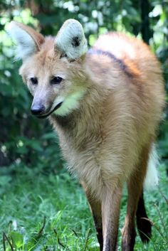 Coyotes, Beautiful Creatures, Animals Beautiful, Beautiful Wolves, Majestic Animals, Beautiful Things, Maned Wolf, Howl At The Moon, Dire Wolf