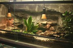 Information portal for reptile and amphibian hobbyists offering classifieds, forums, photo galleries, events, business listings and much more for various species Reptile House, Reptile Room, Reptile Cage, Reptile Enclosure, Reptile Tanks, Bearded Dragon Terrarium, Bearded Dragon Cage, Bearded Dragon Enclosure, Reptile Terrarium
