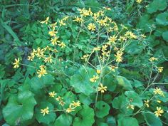 How to Grow Ligularia Perennial Plants (Leopard Plant)