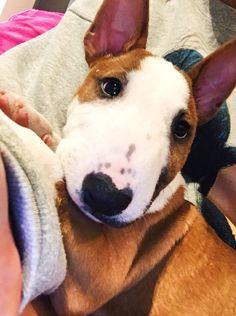Awwwww little mosey Mini Bull Terriers, English Bull Terriers, Bull Terrier Dog, Baby Animals, Cute Animals, Bully Dog, Cute Animal Pictures, Dogs And Puppies, Doggies