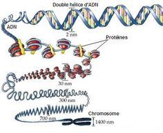 De ADN a Cromosoma