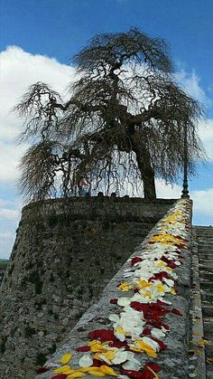 Umbria -  Sophora - Styphnolobium japonicum (L.) Schott 'Pendula' - Castiglione del Lago - (Perugia) Umbria -'11-5-16 - Anna Pugni - (65)