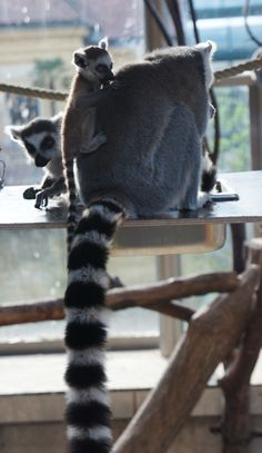 Cant't stop watching them. Ring-tailed lemur family, zoo of Vienna, Austria. Vienna Austria, Lemur, Old Things, Ring, Animals, Rings, Animales, Animaux, Jewelry Rings