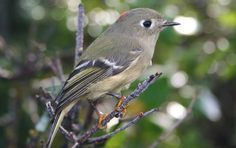 Ruby crowned Kinglet: Second smallest bird in Michigan