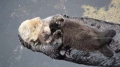 Sea otter pup trying to sleep on mom