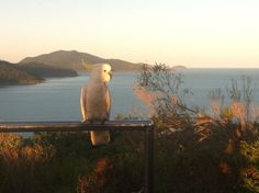 Hanging out for the evening #Cockatoo #HamiltonIsland #ILoveAustralia