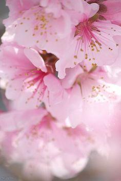 Pretty Pink Blossom Flowers
