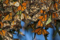 Kill With Kindness, Monarch Butterfly Migration, Event Guide, California Coast, Southern California, Pismo Beach California, California Travel, Backyard Birds, Bird Watching