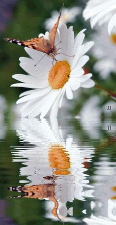 Daisy Flowers & Butterfly Reflection