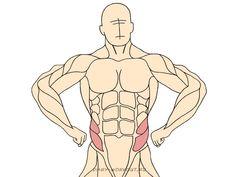 Внутренняя косая мышца живота