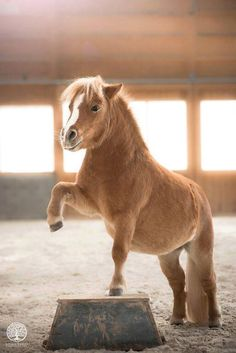 Miniature Horse or pony - you decide who's more talented.