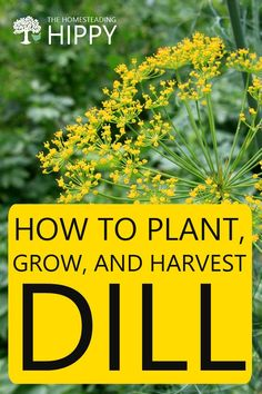 Dill is an easy to grow herb that you can use in a lot of dishes. Here's everything you need to know about growing it, including in containers. #dill #gardening Growing Dill From Seed, Growing Seeds, How To Grow Dill, Easy Herbs To Grow, Garden Pests, Herb Garden, Planting Dill, Organic Gardening, Gardening Tips